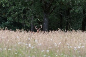 The picture was taken 6-28-14 at 2030 Hour outside of Molalla, Oregon very close to Hwy 213. A dandy Blacktail buck that was running with another buck that was bigger. Just so fast on the camera and juggling around trees.