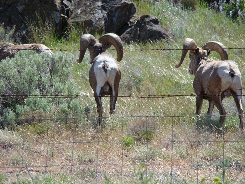 California Bighorn Sheep Pictures John Day River Oregon